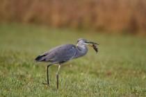 00518-Grey_Heron