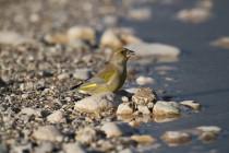00519-European_Greenfinch