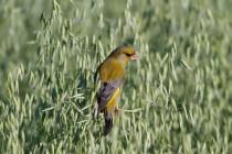 00520-European_Greenfinch