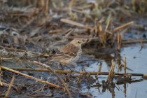 00521-Water_Pipit