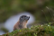 00528-Alpine_Marmot