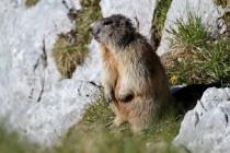 00529-Alpine_Marmot