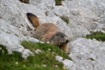 00535-Alpine_Marmot
