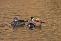 00123-Mandarin_Ducks