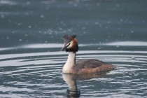 00175-Great_Crested_Grebe