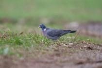 00541-Common_Wood_Pigeon