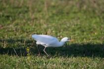 00544-Cattle_Egret