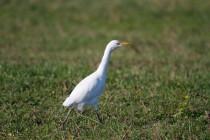 00545-Cattle_Egret