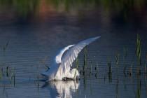 00548-Little_Egret