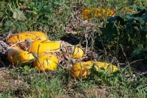 00562-Pumpkins