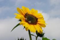 00567-Sunflower