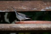 00571-Sardinian_Warbler