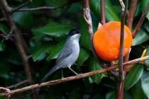00572-Sardinian_Warbler