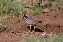 00573-Common_Ringed_Plover