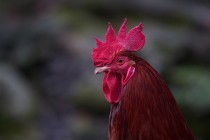 00583-Rooster