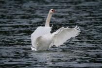 00587-Mute_Swan