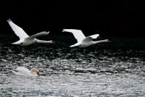 00588-Mute_Swans