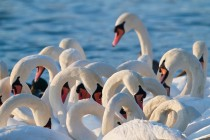 00589-Mute_Swans
