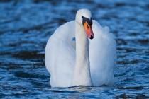 00590-Mute_Swan