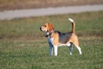 00596-Beagle