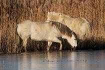 00599-Camargue_Horses