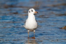 00605-Black-headed_Gull