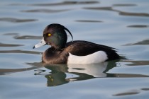 00607-Tufted_Duck