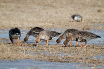 00622-White-fronted_Geese