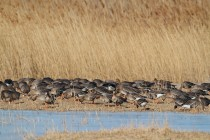 00623-White-fronted_Geese