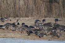 00625-White-fronted_Geese