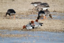00627-Eurasian_Wigeon_White-fronted_Geese
