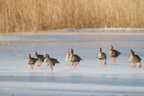 00632-White-fronted_Geese