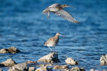 00633-Eurasian_Curlew
