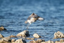 00634-Eurasian_Curlew