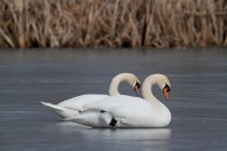 00640-Mute_Swans