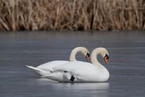 00640-Mute_Swans