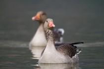 00641-Greyleg_Goose