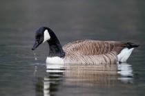 00642-Canada_Goose