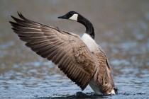 00643-Canada_Goose