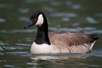 00644-Canada_Goose