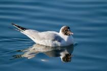00649-Black-headed_Gull