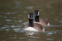 00655-Canada_Geese