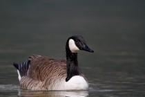 00656-Canada_Goose
