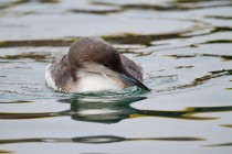 00658-Black-throated_Loon