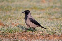 00659-Hooded_Crow