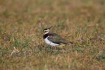 00660-Northern_Lapwing