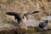 00662-Tundra_Bean_Goose_Eurasian_Coot