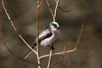 00664-Long-tailed_Tit