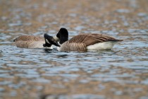 00668-Canada_Geese