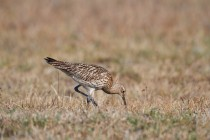 00674-Eurasian_Curlew
